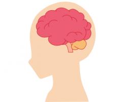 人間の脳みそのイラスト